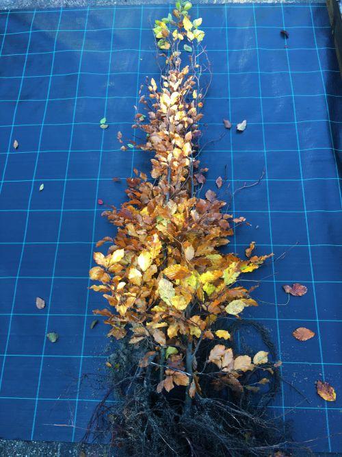 Groene beuk Fagus sylvatica 150/175cm