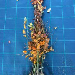 Rode beuk Fagus sylvatica Atropurpurea 60/80cm